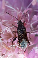 bug Stictopleurus punctatonervosus.