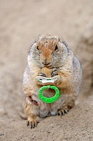Black_tailed Prairie Dog Cynomys ludovicianus, young, playing with a pacifier