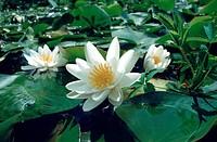 white water_lily, white pond lily Nymphaea alba, blooming, Germany, North Rhine_Westphalia, Lower Rhine