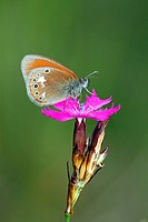 Chestnut Heath butterfly (Coenonympha glycerion) on a flowering Carthusian Pink (Dianthus carthusianorum)