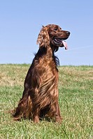 Irish Setter, male, sitting on a lawn