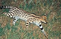 serval Leptailurus serval, Felis serval, side view, Tanzania
