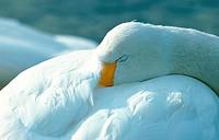 whooper swan Cygnus cygnus, sleeping, Japan, Hokkaido