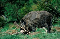 wild boar, pig, wild boar Sus scrofa, female feeding dead fallow deer, Germany, Schleswig_Holstein