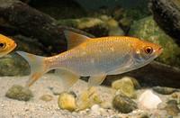 rudd Scardinius erythrophthalmus, golden mutante