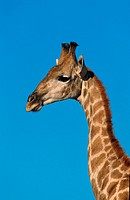 giraffe Giraffa camelopardalis, portrait, highest animal, South Africa, Kgalagadi Transfrontier NP