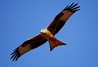 Red kite. Milvus milvus