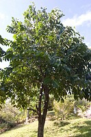 Anona Annona sp, Annonaceae, Campina do Monte Grande, São Paulo, Brazil