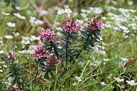 Garland Daphne (Daphne cneorum)