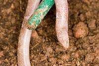 Snake_of_two_heads amphisbaena vermicularis, São Paulo, Brazil