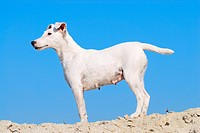 Smooth Fox Terrier, standing