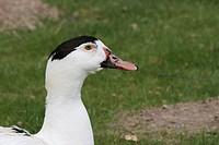 Canard mulârd, Pato hibridio, Boissy sous Saint Yon, Essonne, Ile de France, France