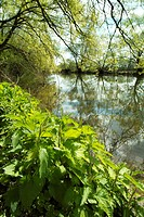stinging nettle Urtica dioica, river landscape, Main valley, Germany, Bavaria, Naturpark Spessart, Untermain