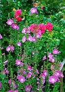 holly hock, hollyhock Alcea rosea, Althaea rosea, holly hocks and roses