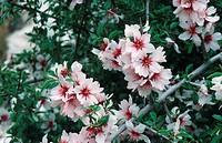 Prunus webbii.