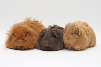 3 guinea pigs sitting next to each other, ginger Texel on the left, 3 years old, female, chocolate Sheltie in the middle, one year old, beige-gold She...
