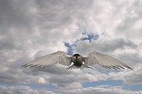 arctic tern Sterna paradisaea, flying, against cloudy sky, United Kingdom, Scotland, Farne Islands