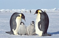 emperor penguin Aptenodytes forsteri, two chicks with adults, Antarctica, Dawson_Lambton Glacier
