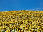Abundance of ripe sunflowers covering a field in southwest France Europe under a blue sky