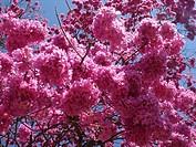 Pink Ipe tree, Ibirapuera Park, São Paulo, Brazil