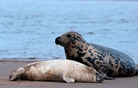 gray seal Halichoerus grypus, female with young.