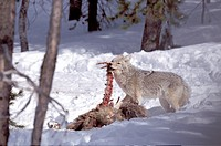 coyote Canis latrans, at elk kill, USA, Yellowstone NP