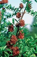 liquorice root Glycyrrhiza glabra, berries.