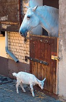 Lipizzaner horse Equus przewalskii f. caballus, and goat, Lipizzaner locking out of the stable