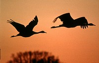 common crane Grus grus, flying pair agaist evening sky.