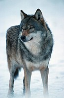 gray wolf Canis lupus.
