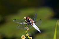 Broad-bodied Chaser (Libellula depressa), male