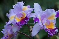 Orchid, São Bernardo, São Paulo, Brazil