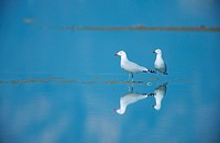 Audouin´s gull Larus audouinii, couple standing in water, Spain, Katalonia, Ebrodelta