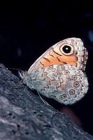 wall, wall brown Lasiommata megera, Pararge megera.
