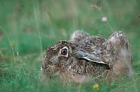 European hare Lepus europaeus.