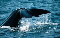 Sperm Whale Physeter catodon.
