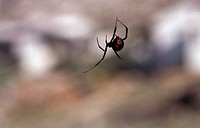 European black widow hourglass spider, shoe button spider, po_ko_moo spider Latrodectus mactans.