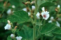 common marshmallow Althaea officinalis, leaves and blossoms