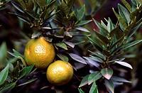 Chinotto, lemon Citrus myrtifolia, Citrus x myrtifolia, Citrus aurantium Myrtifolia, fruiting