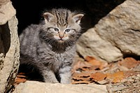 Young Wildcat (Felis silvestris) exploring the environment