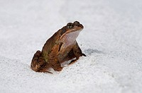 European Common Brown Frog (Rana temporaria) migrating over snow