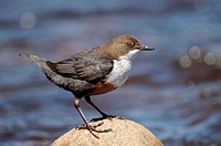 dipper Cinclus cinclus, sitting on a standing, United Kingdom, Scotland, Cairngorms National Park