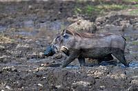 Warthog (Phacochoerus africanus), Masai Mara National Reserve, Kenya, East Africa