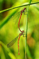 Pyrrhosoma nymphula, Large Red Damselflies in ´tandem´ position, Wales