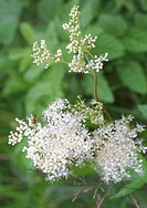 meadowsweet, queen_of_the_meadow Filipendula ulmaria, flowering with hover fly
