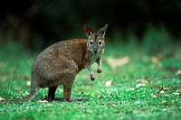 Red_necked Pademelon Thylogale thetis, Lamington National Park, Queensland, Australia