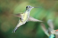 rivoli´s hummingbird Eugenes fulgens, in tropical rain forest, flying, Costa Rica