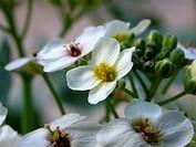 sea_kale, sea kale Crambe maritima, flowers