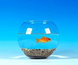 goldfish, common carp Carassius auratus, in a glas