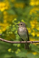spotted flycatcher Muscicapa striata, portrait of a single animal, sitting on a branch